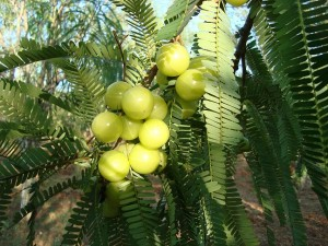 Image of Gooseberry Tree