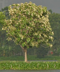 image of teak tree