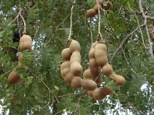 Image of Tamarind Tree